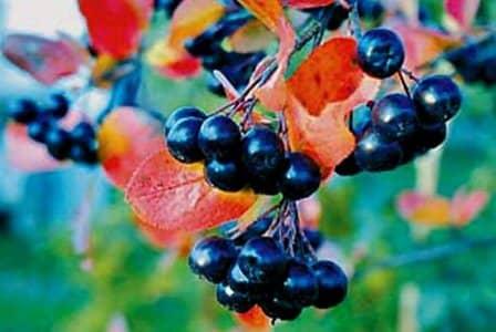 Советы по выращиванию черноплодной рябины (аронии)