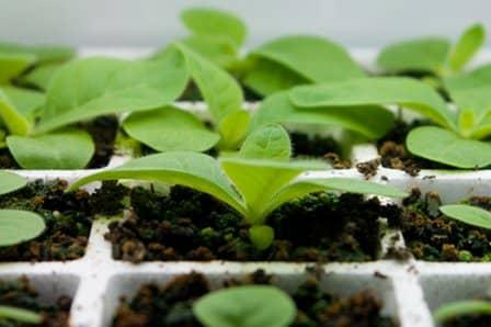 Правила посева и выращивание рассады баклажанов