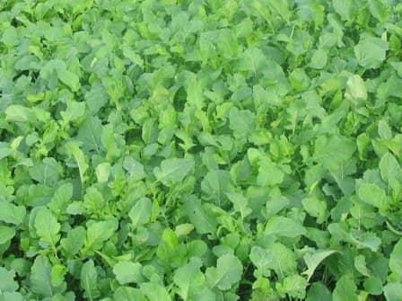 Повышение плодородия почвы с помощью сидератов