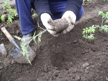 Пересадка рассады помидоров в теплицу и в грунт