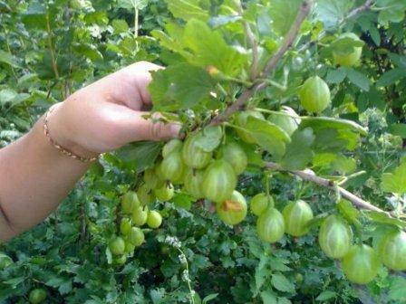 Богатый урожай крыжовника - правила ухода