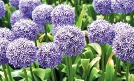 Как выращивать декоративный лук (аллиум)?