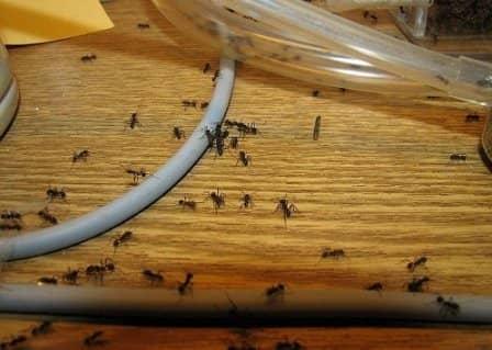 Как избавиться от муравьев в квартире?