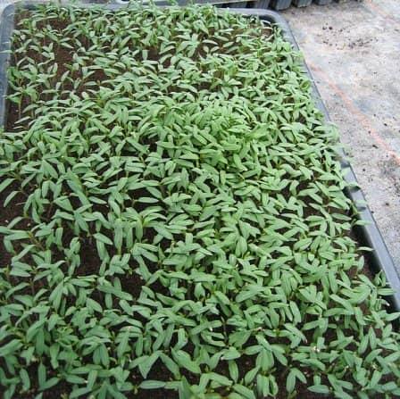 Выращивание рассады - правила посева томатов