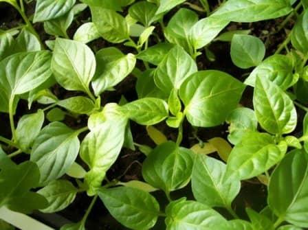 Выращивание рассады - правила посева перцев