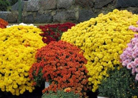 Хризантемы - посадка и уход
