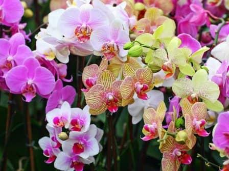 Как продлить цветение орхидеи?