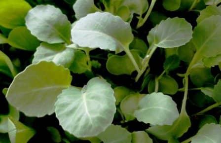 Сроки посева и выращивание рассады кочанной капусты