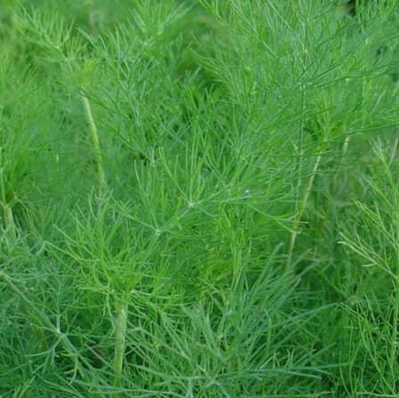 Рaнний урожaй зелени в открытом грунте