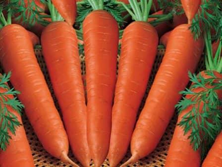 Вредители моркови и меры борьбы с ними