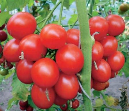 Как вырастить богатый урожай помидоров