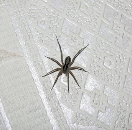 К чему дома появляются пауки: основные приметы