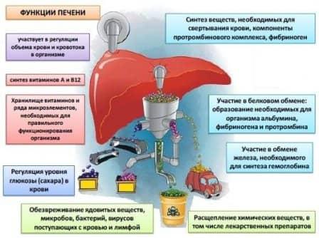 Роль печени в организме человека