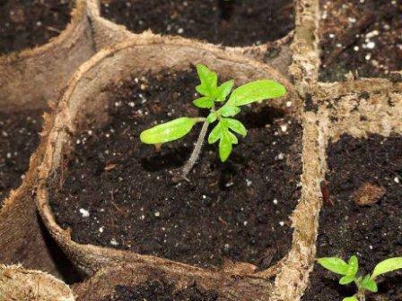 Когда сеять помидоры на рассаду - полезные рекомендации
