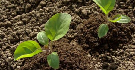 Посев баклажанов на рассаду + видео