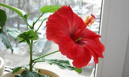 Цветок гибискус: уход в домашних условиях