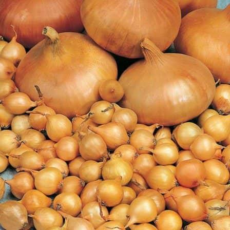 Как купить хороший лук-севок