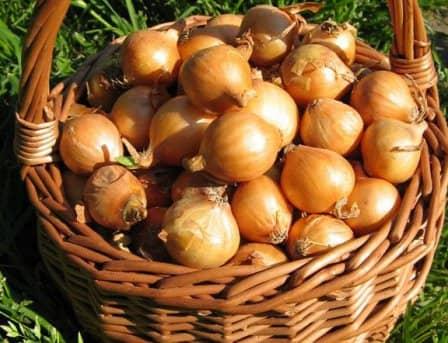 Выращивание репчатого лука: секреты хорошего урожая