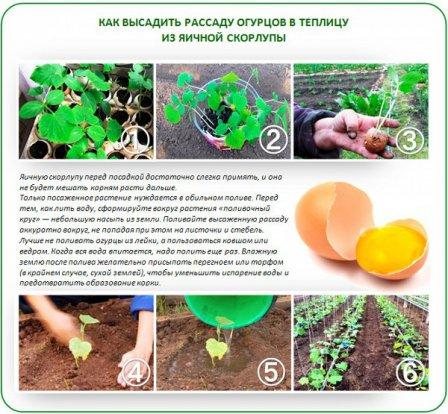 Огурцы в яичной скорлупе
