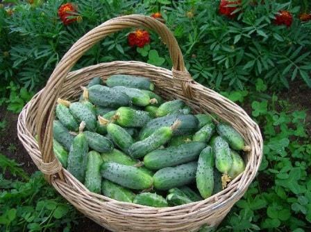 Повышаем урожайность огурцов: секреты успеха