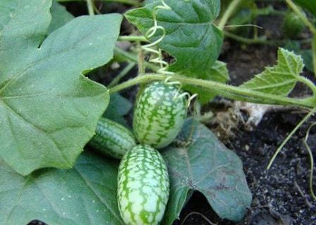 Милотрия: выращивание и уход