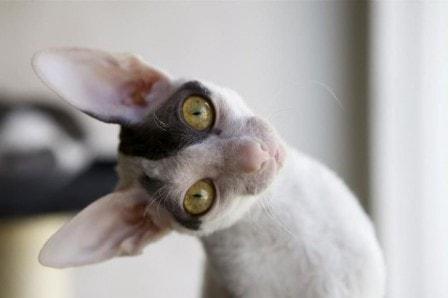 Расшифровка характерных движений и звуков кошки