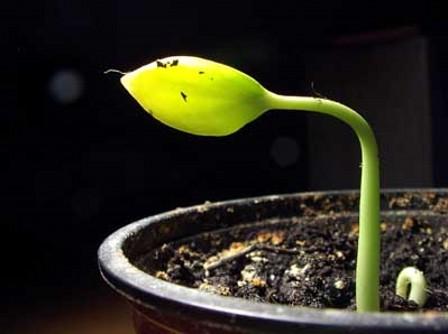 Как вырастить хурму из косточки дома?